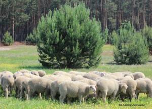 owce uhruskie - jagnięta